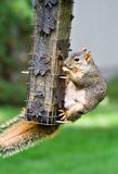 Eichhörnchen-Bandit Stockbild