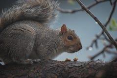 Eichhörnchen bei Snacktime Stockbild