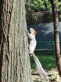 Eichhörnchen-Bergsteiger Lizenzfreies Stockfoto
