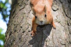 Eichhörnchen betrachtet uns sorgfältig unten kletternd von einem Baum Lizenzfreie Stockbilder