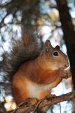 Eichhörnchen, Brötchen Stockbild