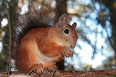 Eichhörnchen, Brötchen Lizenzfreie Stockfotos