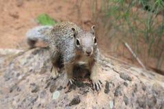 Eichhörnchen-Chipmunk Lizenzfreie Stockbilder