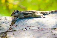 Eichhörnchen @~CLICK~ SHUBH Stockfoto
