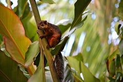 Eichhörnchen Costa Rica lizenzfreies stockbild