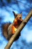 Eichhörnchen, das auf Baum isst Stockfotografie