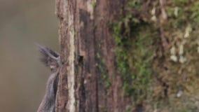Eichhörnchen, das auf dem Baum isst stock video