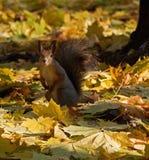 Eichhörnchen, das auf dem Laub von MA sitzt Lizenzfreies Stockbild