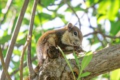 Eichhörnchen, das auf dem Niederlassungsbaum isst Stockfoto
