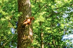 Eichhörnchen, das auf dem Stamm eines Baums sitzt Im Hintergrund werden die Bäume durch die Sonne belichtet stockfotografie
