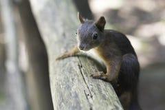 Eichhörnchen, das auf der Schiene klettert Stockbild