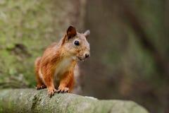 Eichhörnchen, das auf einem Baum sitzt Stockbilder