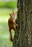 Eichhörnchen, das auf einem Baum sitzt Stockfotografie
