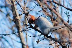 Eichhörnchen, das auf einem Baum unter Niederlassungen sitzt lizenzfreie stockbilder