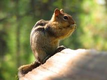 Eichhörnchen, das auf einem Felsen isst Lizenzfreie Stockfotografie