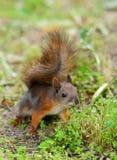 Eichhörnchen, das auf einem Gras sitzt Lizenzfreie Stockfotografie