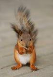 Eichhörnchen, das auf einem Gras sitzt Lizenzfreies Stockfoto