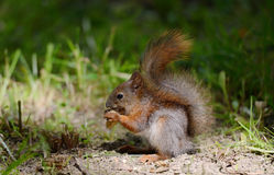 Eichhörnchen, das auf einem Gras sitzt Stockbild