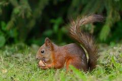 Eichhörnchen, das auf einem Gras sitzt Stockfoto