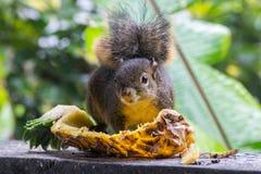 Eichhörnchen, das auf einer Ananas sitzt Stockbilder