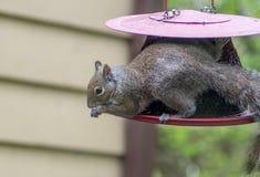 Eichhörnchen, das auf einer hängenden Vogelzufuhr stillsteht stockbilder