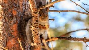 Eichhörnchen, das auf einer Kiefernniederlassung sitzt Lizenzfreies Stockbild