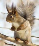 Eichhörnchen, das auf Hintergeruch steht Lizenzfreie Stockbilder