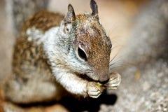 Eichhörnchen, das auf Lebensmittel abnagt Lizenzfreie Stockbilder