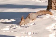 Eichhörnchen, das auf Schnee läuft Stockfoto