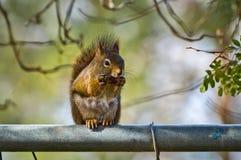 Eichhörnchen, das auf Zaun isst Stockfotos