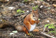 Eichhörnchen, das aus den Grund sitzt Stockfoto