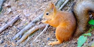 Eichhörnchen, das aus den Grund sitzt Beißt den Samen Hält Vorderpfoten stockfoto