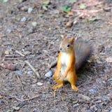Eichhörnchen, das aus den Grund sitzt Beißt den Samen Hält Vorderpfoten stockfotografie