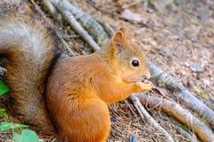 Eichhörnchen, das aus den Grund sitzt Beißt den Samen Hält Vorderpfoten lizenzfreies stockfoto