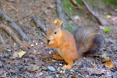 Eichhörnchen, das aus den Grund sitzt Beißt den Samen Hält Vorderpfoten lizenzfreies stockbild