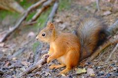 Eichhörnchen, das aus den Grund sitzt Stände auf seinen Hinterbeinen Roter buschiger Schwanz lizenzfreie stockbilder