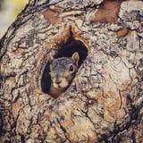Eichhörnchen, das aus einem Baum-Loch heraus späht Stockfotografie