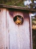 Eichhörnchen, das aus Nistkasten heraus späht stockbilder