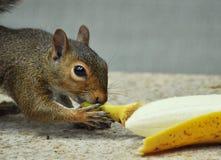 Eichhörnchen, das Banane isst Lizenzfreie Stockfotos