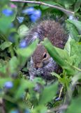 Eichhörnchen, das in den Glockenblumen sich versteckt stockfoto