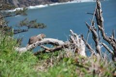 Eichhörnchen, das den Ozean übersieht Lizenzfreie Stockfotografie