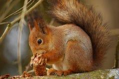 Eichhörnchen, das den Tannenkegel genießt Stockfotografie