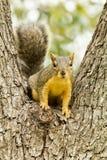 Eichhörnchen, das in der Baumgabel sitzt Stockbild
