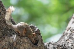 Eichhörnchen, das in der Höhle eines Baums schaut lizenzfreies stockfoto
