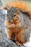 Eichhörnchen, das in der Nahaufnahme isst stockbilder