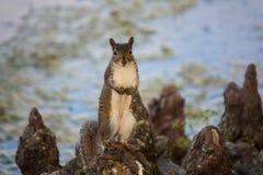 Eichhörnchen, das durch einen See aufwirft Stockfotografie