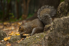 Eichhörnchen, das Eichel isst Lizenzfreies Stockbild