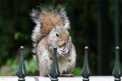 Eichhörnchen, das ein pinda isst Stockfoto