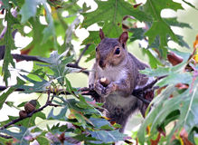 Eichhörnchen, das eine Eichel isst Stockfotografie
