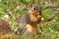 Eichhörnchen, das eine Erdnuss isst Stockfoto
